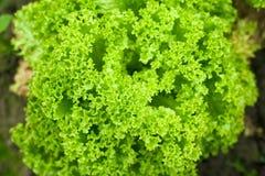 Het hoofd van de salade Stock Afbeelding