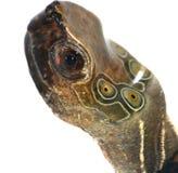 Het hoofd van de schildpad stock afbeeldingen