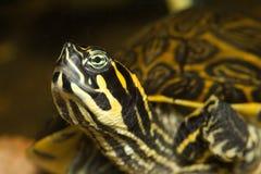 Het hoofd van de schildpad royalty-vrije stock foto