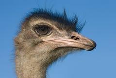Het hoofd van de struisvogel Stock Fotografie