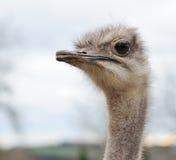 Het hoofd van de struisvogel Stock Foto's