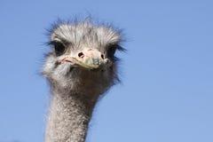Het hoofd van de struisvogel stock afbeelding