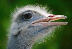 Het hoofd van de struisvogel Stock Afbeeldingen