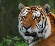 Het hoofd van de tijger Royalty-vrije Stock Afbeelding