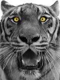 Het hoofd van de tijger Stock Fotografie
