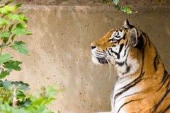 Het hoofd van de tijger Royalty-vrije Stock Afbeeldingen