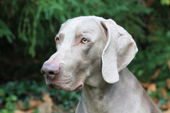 Het hoofd van de Weimaranerhond Stock Foto's