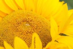 Het hoofd van de zonnebloem Stock Afbeeldingen