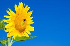 Het hoofd van de zonnebloem tegen blauw Royalty-vrije Stock Afbeelding