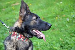 Het hoofd van Duitse herderhond, sluit omhoog, weide op achtergrond royalty-vrije stock foto