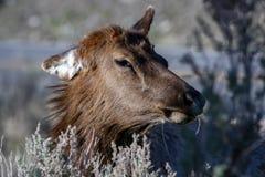 Het hoofd van een eland stock foto