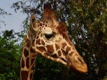 Het hoofd van een giraf is dunne lange hals tegen de achtergrond van bomen en hemel Stock Afbeeldingen