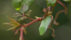 Het Hoofd van een Groene Hornworm Caterpillar die van Wijnstok, 4K hangen stock videobeelden