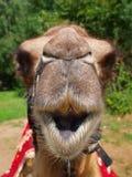 Het hoofd van een jonge kameel Stock Afbeeldingen