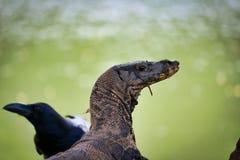 Het hoofd van een Komodo-draak en een raaf kruisen in lumpinipark in Bangkok stock foto