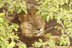 Het hoofd van een Leeuw die stil onder de takken van een boom sluimert stock fotografie