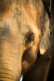 Het hoofd van een olifant Royalty-vrije Stock Foto