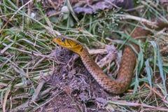 Het hoofd van een slang op gras Stock Foto