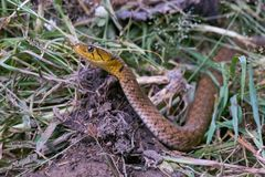 Het hoofd van een slang op gras Stock Afbeelding