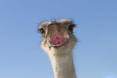 Het hoofd van een struisvogel Royalty-vrije Stock Fotografie