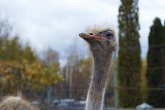 Het hoofd van een volwassen struisvogelclose-up tegen een hemelachtergrond Royalty-vrije Stock Foto