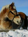 Het hoofd van het paard Stock Afbeelding