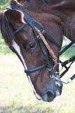 Het hoofd van het paard Stock Foto