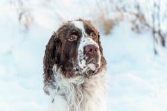 Het hoofd van hond is het Engelse Aanzetsteenspaniel, in sneeuw op de de winteraard stock afbeelding