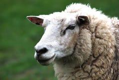 Het hoofd van schapen royalty-vrije stock afbeeldingen