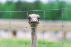 Het hoofd van struisvogelclose-up achter ijzeromheining in gevangenschap stock afbeelding