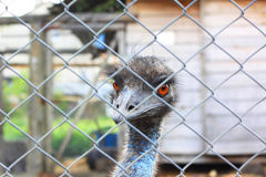 Het hoofd van struisvogelclose-up achter ijzeromheining in gevangenschap, bekijkt camera stock fotografie