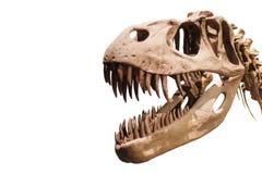 Het hoofd van tyrannosaurusrex op wit geïsoleerde achtergrond met copyspace Stock Afbeelding