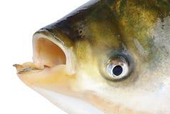 Het hoofd van vissen royalty-vrije stock foto's