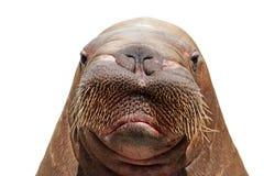 Het hoofd van walrussen over wit Stock Afbeeldingen