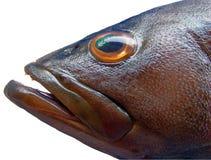 Het Hoofd van zwarte Vissen Lahos Royalty-vrije Stock Afbeelding