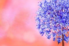 Het hoofdblauw van de alliumbloem met een roze achtergrond stock foto