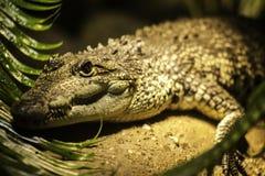 Het hoofdportret van de krokodil Stock Afbeeldingen