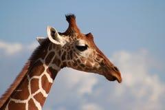 Het Hoofdprofiel met een netvormig patroon van de Giraf Royalty-vrije Stock Foto