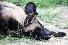 Het hoofdroofdier van de Afrikaanse wilde hond ligt Royalty-vrije Stock Foto