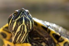 Het hoofdschot van de schildpad Stock Foto