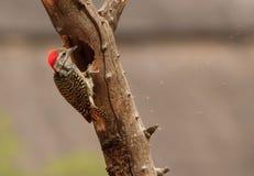 Het hoofdwoodpecker-pikken Stock Afbeelding