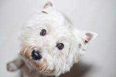 Het Hoogland Wit Terrier van het westen royalty-vrije stock foto