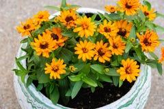Het hoogtepunt van de bloempot van heldere gele bloemen Stock Afbeeldingen