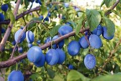 Het hoogtepunt van de de herfstboomgaard van vruchten, rijpe pruimen Royalty-vrije Stock Foto's