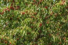 Het hoogtepunt van de kersenboom van rode rijpe kersen stock afbeeldingen