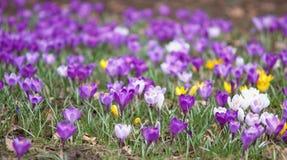 Het hoogtepunt van het gazon van violette krokussen Royalty-vrije Stock Fotografie