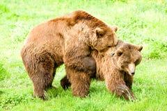 Het hoornen Wilde Bruine Beren Koppelen stock afbeeldingen