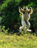 Het hoppen van Verreauxsifaka bipedally in voorwaarts en zijdelings een beweging in Madagascar stock foto's
