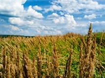 Het horizontale landschap van het de zomergebied van het roggegraan Royalty-vrije Stock Fotografie