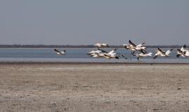 Het horizontale pelikanen vliegen Stock Foto's